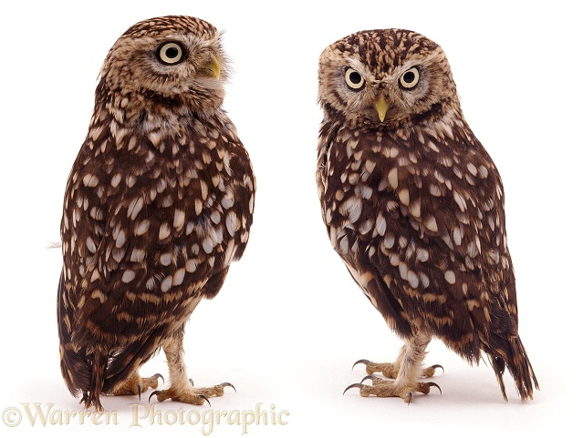 Pair of Little Owls (Athene noctua), white background