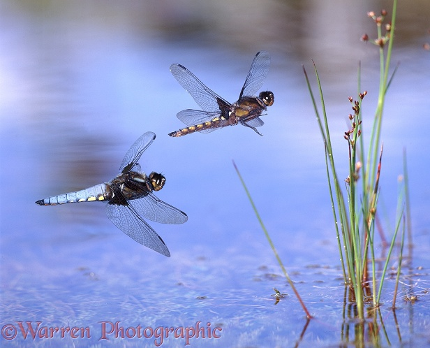 Broad-bodied Chaser Dragonfly (Libellula depressa) males flying over a pond.  Europe including Britain