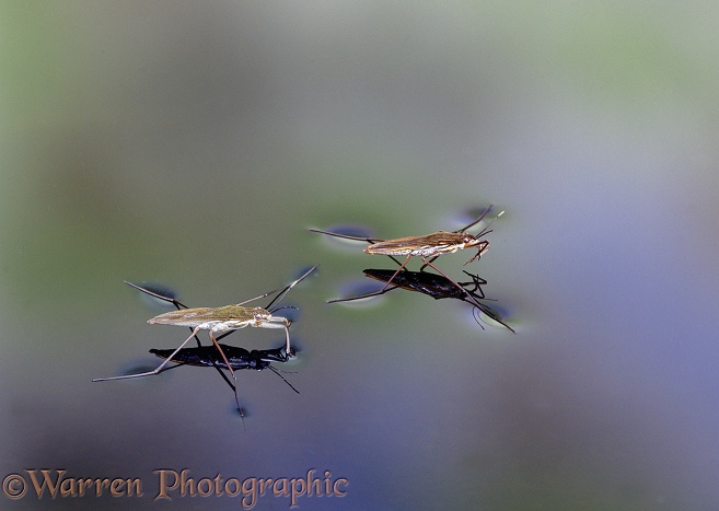 Pond Skaters (Gerris lacustris) on the surface of a still pond