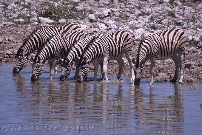 Plains Zebra (Equus burchelli) drinking at a water hole.  Africa