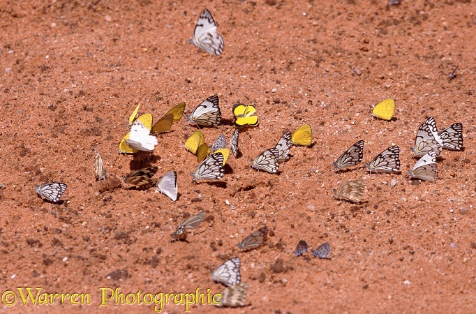 Brown-veined White (Belenois aurota), Zebra White (Pinacopteryx eriphia)  and Broad-bordered Grass Yellow (Euremia brigitta) butterflies gathering on a salt lick.  Southern Africa