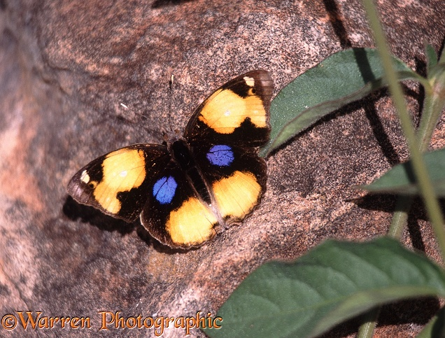 Yellow Pansy Butterfly (Precis hierta) sunning.  Africa