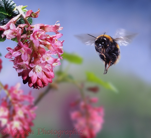 Buff-tailed Bumblebee (Bombus terrestris) queen visiting Flowering Currant (Ribes sanguineum).  Europe