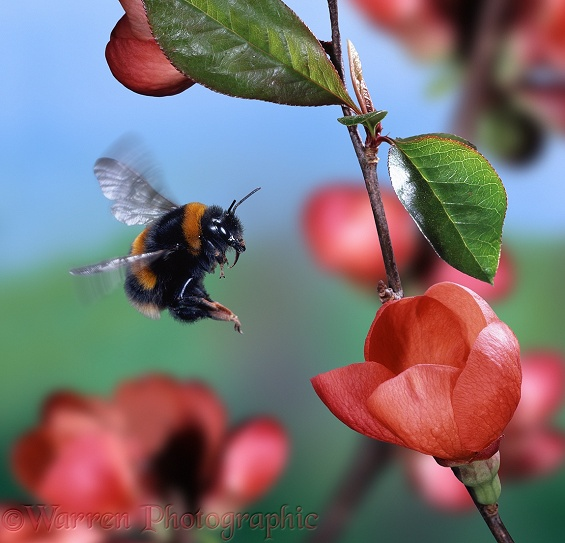 Buff-tailed Bumblebee (Bombus terrestris) queen visiting Japonica flowers.  Europe