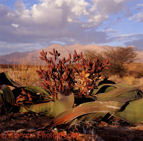 Welwitschia (Welwitschia mirabilis) female plant with cones.  Southern Africa