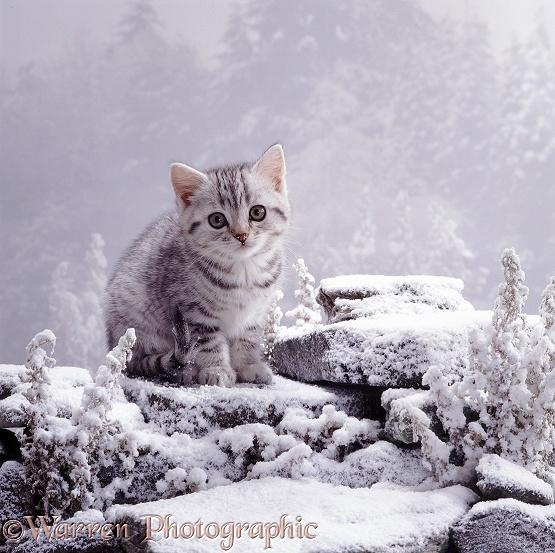 Kitten In Snow Photo Wp07166