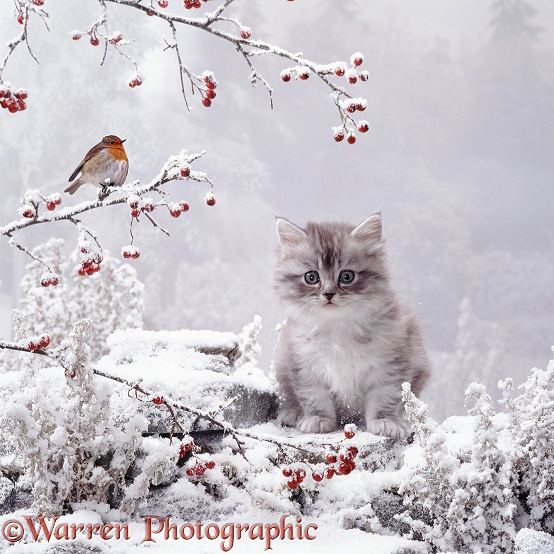 Kitten and robin in snow