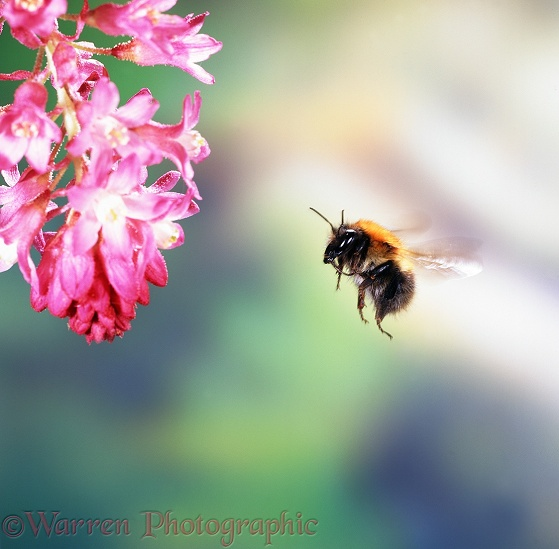 Common Carder Bee (Bombus pascuorum) visiting flowering currant.  Europe including Britain