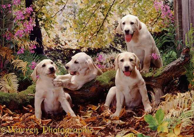 Retriever pups in the woods jigsaw