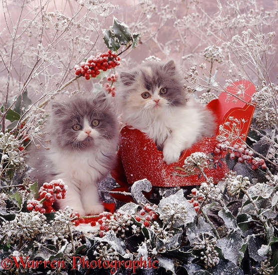 Blue Bicolour Persian kitten Cobweb and his Blue-cream sister Coriander, 9 weeks old, with red sleigh, holly berries, ivy flowers, umbellifer deadheads and snow