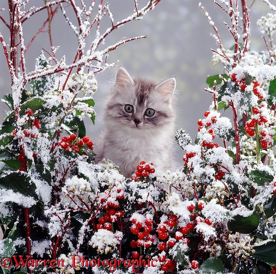Portrait of fluffy silver tabby kitten MK III with snowy holly and ivy berries