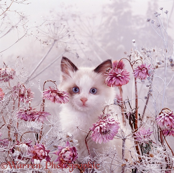 Portrait of blue-eyed bicolour Ragdoll-cross kitten Fungus among snowy everlasting daisies and cow parsley deadheads