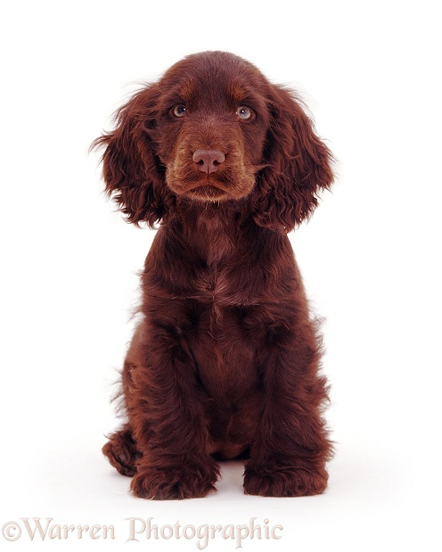 Chocolate Cocker Spaniel pup, Britney, 14 weeks old, white background