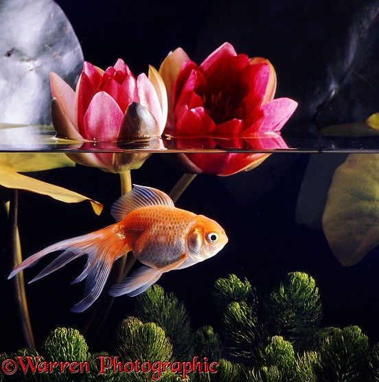 Lionhead Veiltail Goldfish with red waterlily flowers