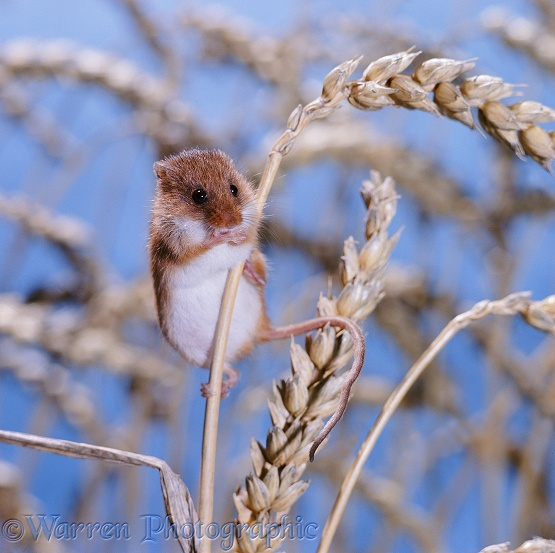 Harvest Mouse (Micromys minutus)