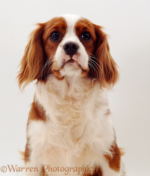 Blenheim Cavalier King Charles Spaniel, white background