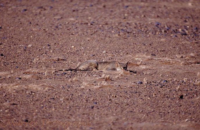 African Wild Cat (Felis lybica) trying to hide in the Namib Desert.  Africa