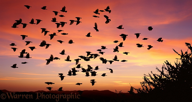 Red-billed Quelea (Quelea quelea) flock taking off at sunset.  Africa