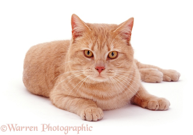 Cream British Shorthair male cat, Horatio, white background