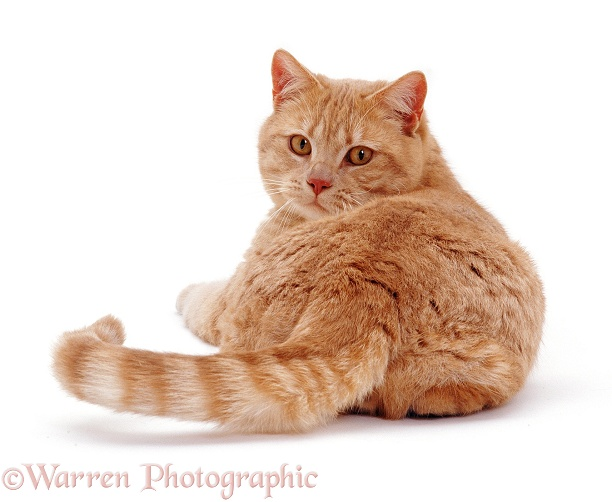 British Shorthair male cat Horatio, back view, looking over his shoulder, white background