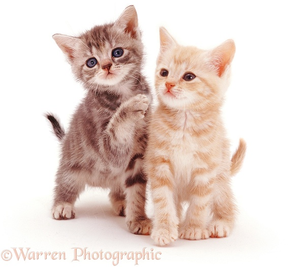 Blue tabby female and cream tabby male 8-week-old kitten siblings, white background