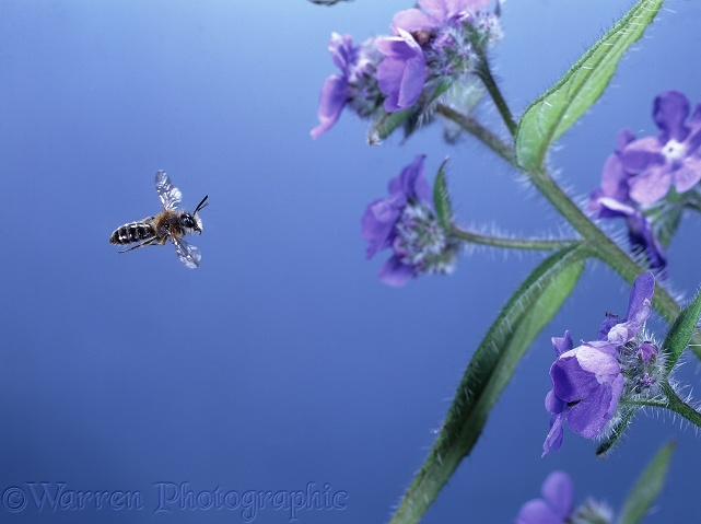 Mining bee (Colletes species) approaching Alkanet flowers