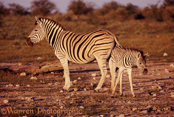 Plains Zebra (Equus burchelli) with a foal.  Africa