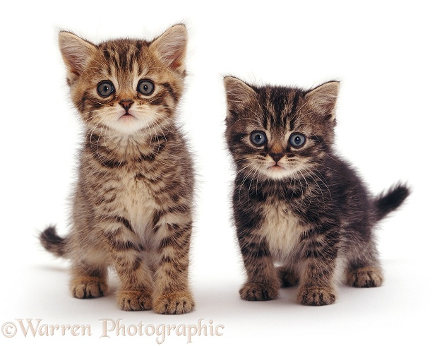 Two Tabby Chinchilla x British Shorthair kittens, 6 weeks old, white background