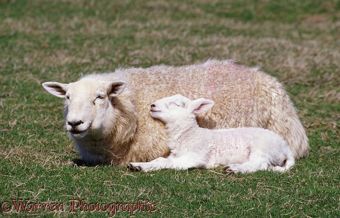 Sheep and sleepy lamb.  Lundy Island, England