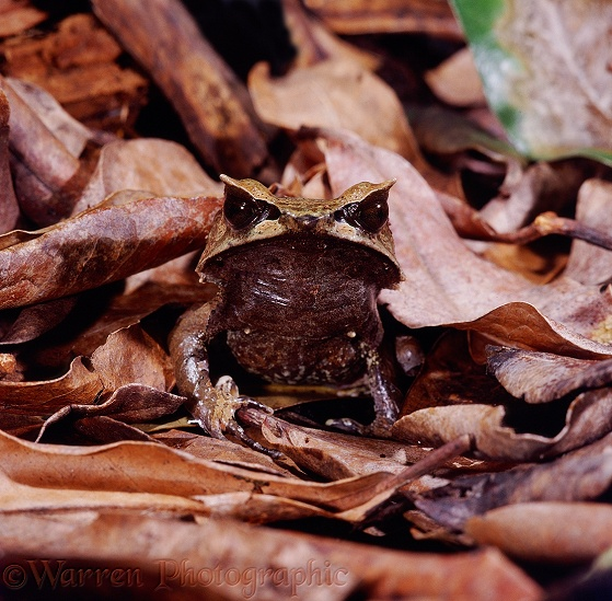 Malayan Horned Frog (Megophrys nasuta) among dead leaves, showing its superb camouflage.  S.E. Asia