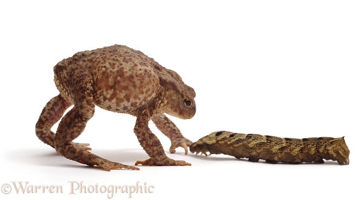 Common Toad (Bufo bufo) in snake-defensive posture when confronted by a snake-like caterpillar of Elephant Hawk Moth (Deilephila elpenor), white background