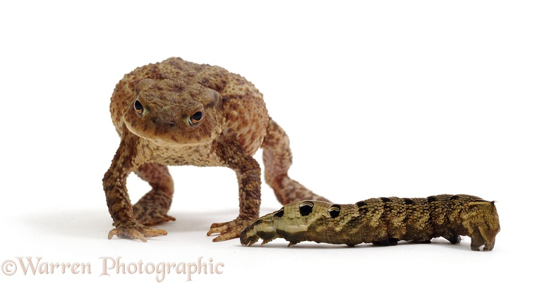 Common Toad (Bufo bufo) in snake-defensive posture when confronted by a snake-like caterpillar of Elephant Hawk Moth (Deilephila elpenor).  Europe, white background