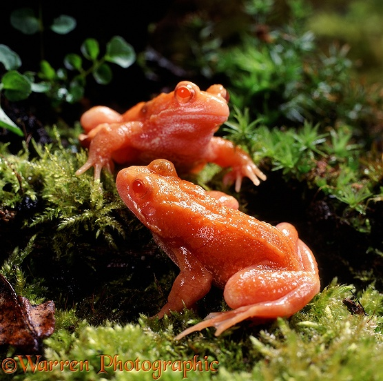 Common Frog (Rana temporaria): red (erythristic) 2 year old males