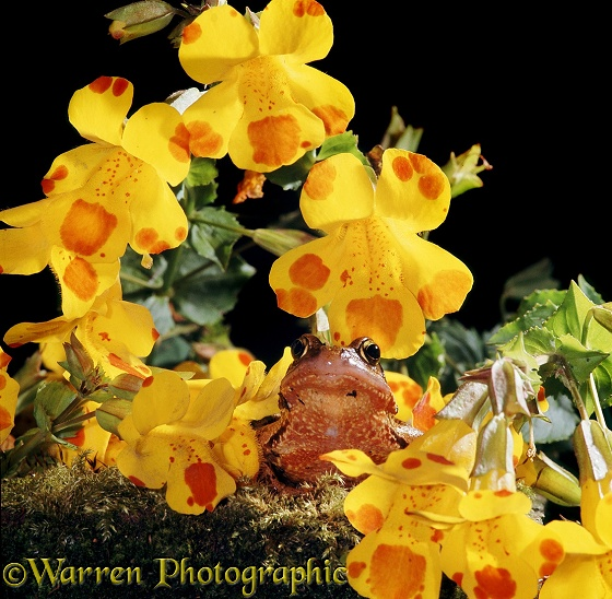 Common Frog (Rana temporaria) among Monkey Musk (Mimulus luteus) flowers