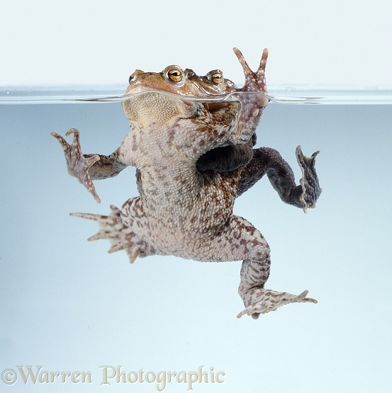 Pair of Common Toads (Bufo bufo) in amplexus, floating at the surface