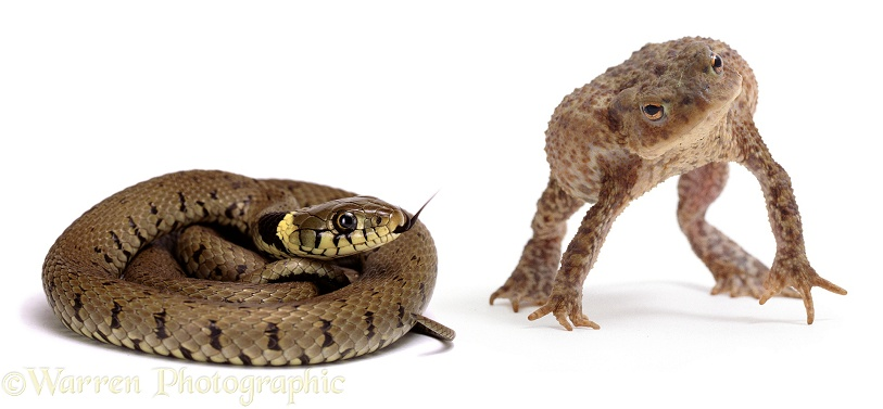 Common Toad (Bufo bufo) in snake-defensive posture when confronted by a Grass Snake (Natrix natrix).  Europe, white background
