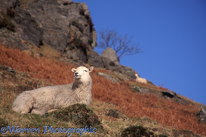 Welsh mountain ewe on a hillside in mid-Wales in October