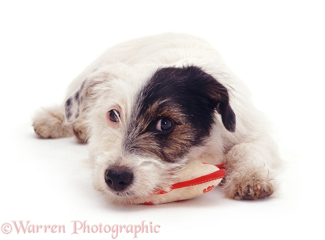 Rough-coated Jack Russell Terrier pup, Chico, white background
