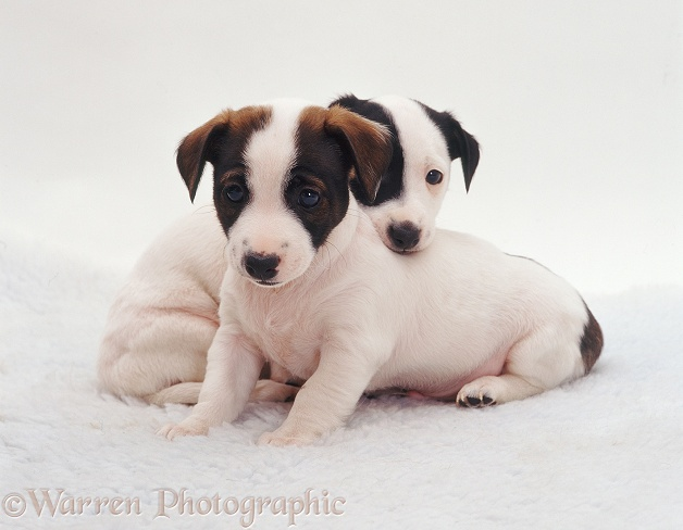 Jack Russell Terrier pups, 8 weeks old, white background