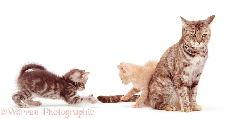 Blue tabby kitten, 8 weeks old, attacking the twitching tail of Silver tortoiseshell British Shorthair mother cat Sylvia, white background