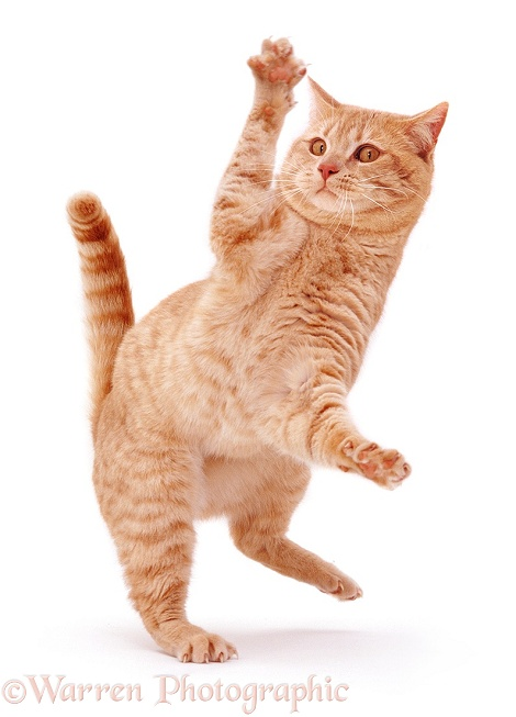 Cream British Shorthair male cat Horatio 'dancing', white background