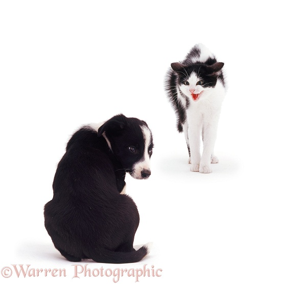 Black-and-white kitten Marge making Border Collie pup Pogle, 8 weeks old, feel really small, white background