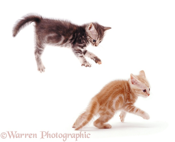 "Blue tabby kitten, 8 weeks old, taking a flying leap at a sibling during ""witch's cat"" play, white background"