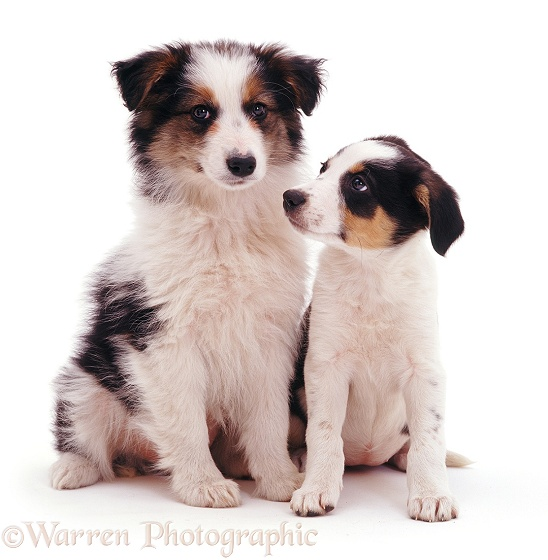 Tricolour Border Collie pups Whisper and Polly, 8 weeks old, white background