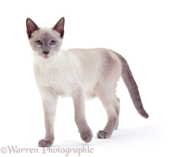 Young Blue-point Siamese cat walking, white background