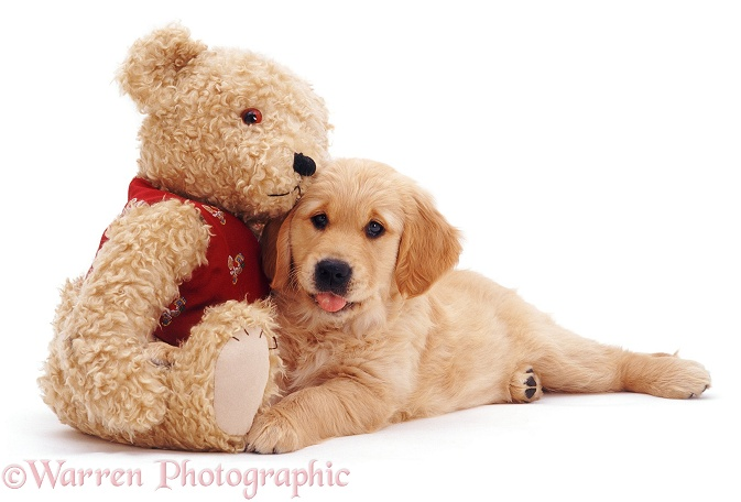 Golden Retriever puppy, Jasmine, 10 weeks old, with a teddy bear, white background