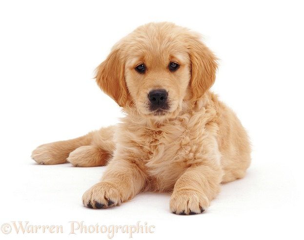 Golden Retriever puppy Jasmine, 10�weeks�old, lying with head up, white background
