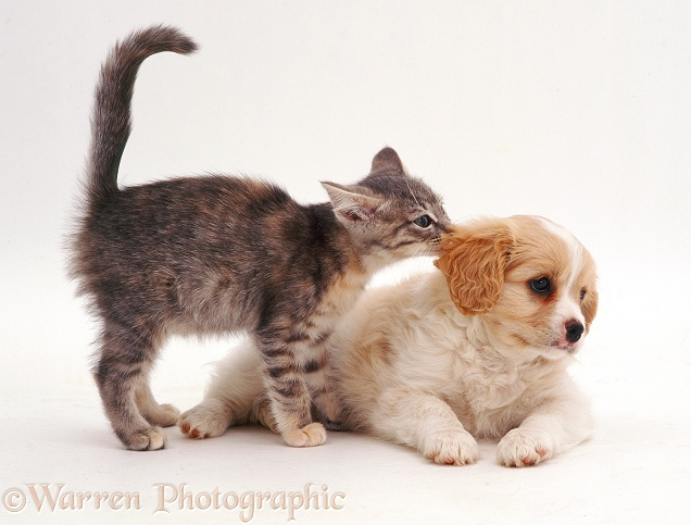 Blue tabby kitten sniffing the ear of a Cavalier x Spitz puppy. Both 8 weeks old, white background