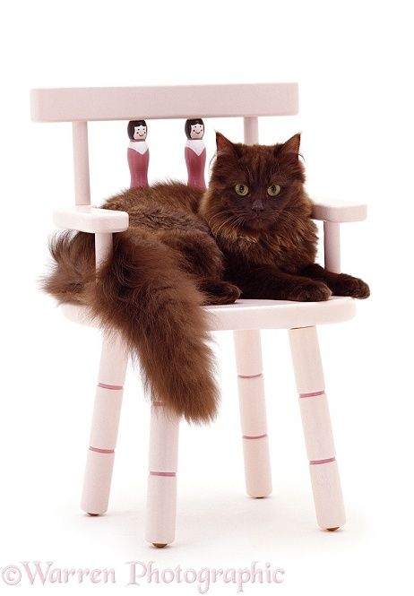 Chocolate Persian-cross female cat Chloe, 6 months old, on a pink child's chair, white background