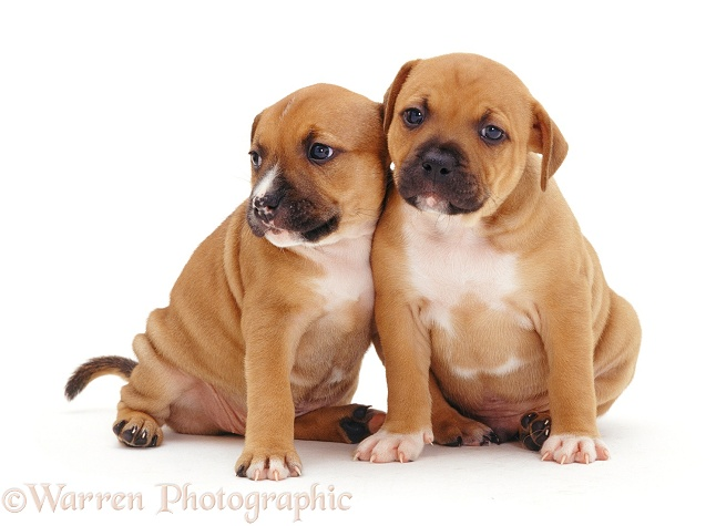 Two red Staffordshire Bull Terrier puppies, 6 weeks old, white background
